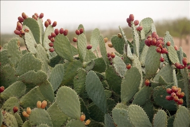 prickly-pear-cactus-flowering.jpg
