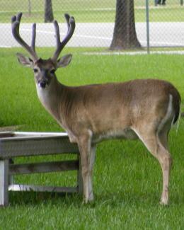 wild animals of buck deer wikipedia