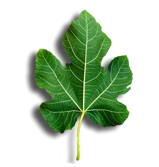 fig-leaf